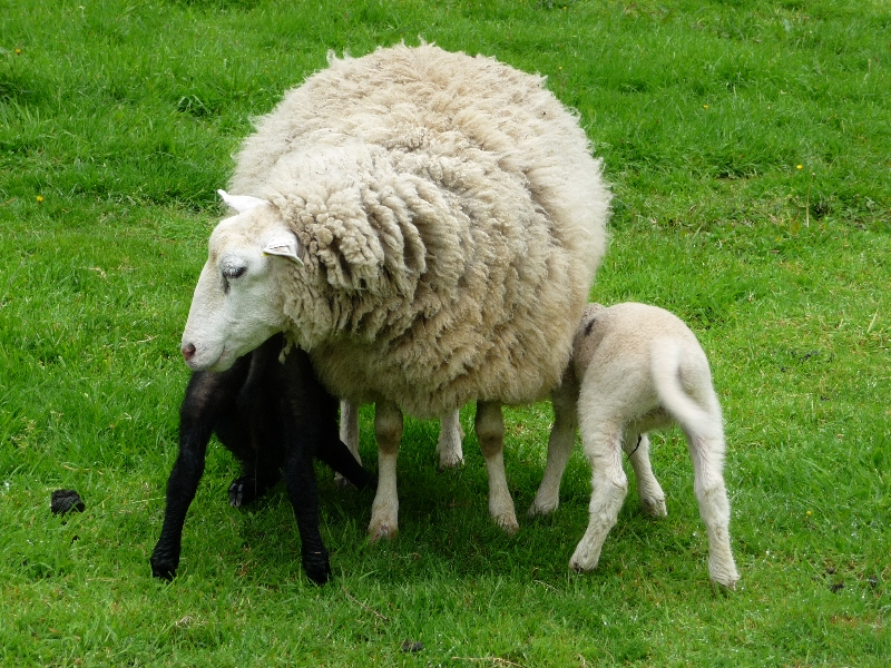 120518-08-moutons-a-la-sortie-de-pontivy-1