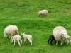 120518-08-moutons-a-la-sortie-de-pontivy-0